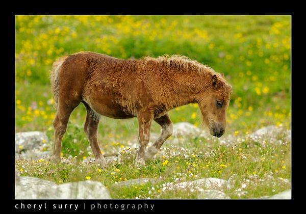 Shetland Pony by csurry