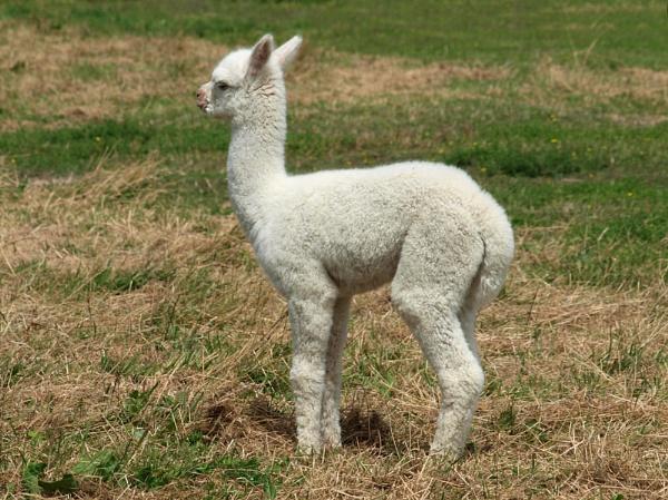 Baby Alpaca by chensuriashi