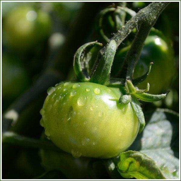 Tomato after rain by JPatrickM