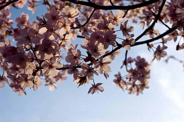 Blossom by WilliamRoar