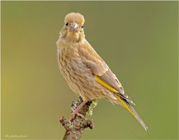Greenfinch 10