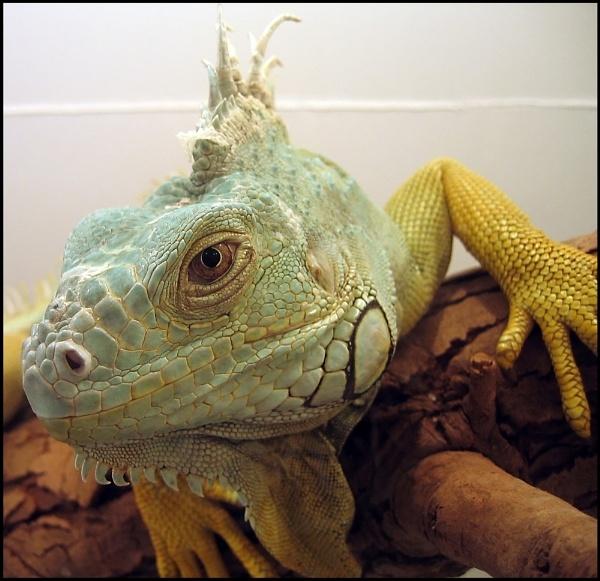 Iguana by Adam_H