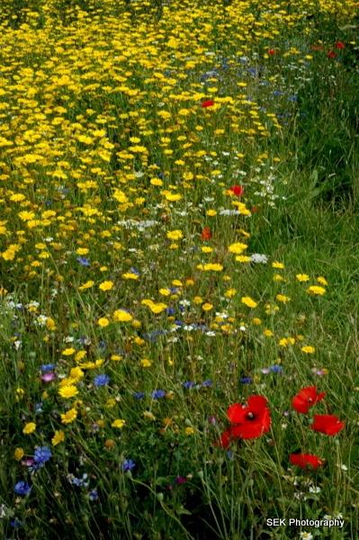 Wild flowers by SusanKing