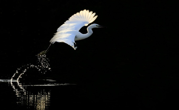 Little Egret by chunky1972