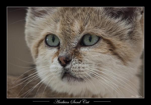 Arabian Sand Cat by SteveMoulding