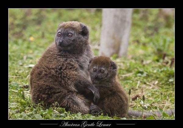 Alaotran Gentle Lemur by SteveMoulding