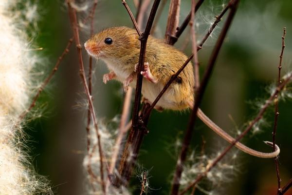 Little Harvest Mouse by bridge99
