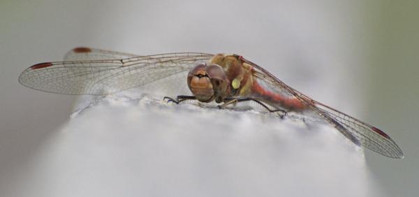 Dragonfly by Rachel99