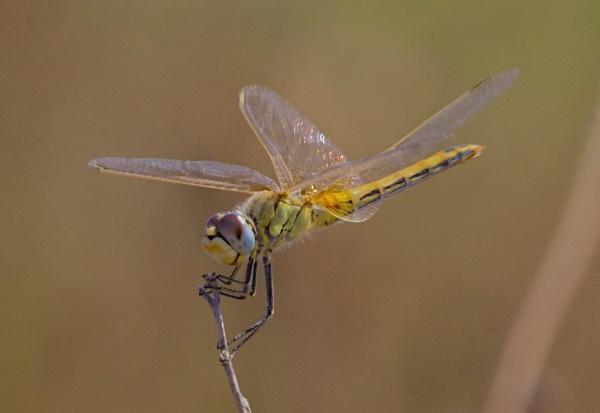 Damsalfly from Rhodes by phil19belfield