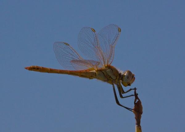 Damsalfly from Rhodes 2 by phil19belfield