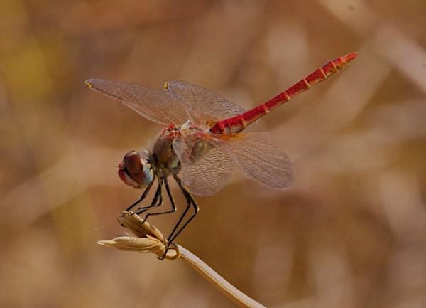 Damsalfly from Rhodes 3 by phil19belfield