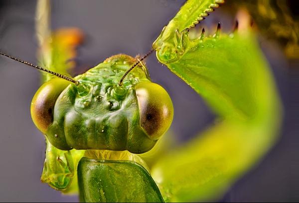 Pray Mantis Pray! by gnovey
