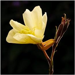 Evening Primrose (Oenothera stricta sulphurea)
