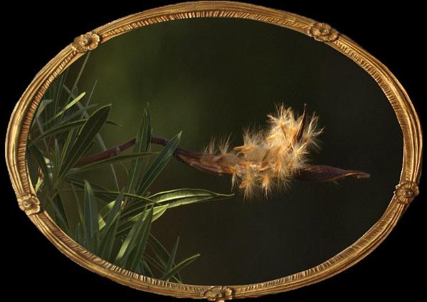 Oleander Seeds by metro074