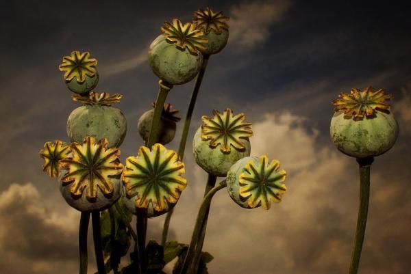 Poppy Pods by Audran