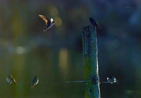 swallows0432 by paulknight