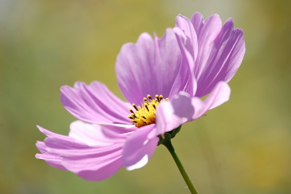 Cosmos by tressypittkerby