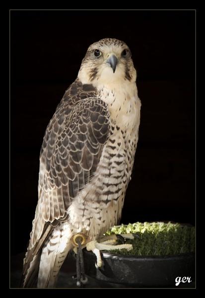 peregrine falcon by yaco