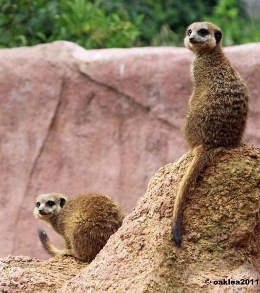 Meerkat expression by oaklea