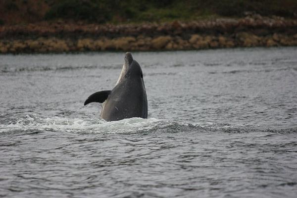 Dolphin  at play by Sybalan