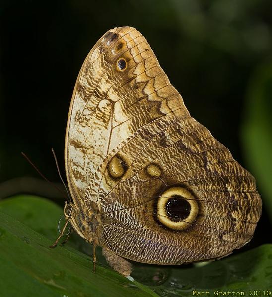 Owl Butterfly (Caligo memnon) by mohikan22