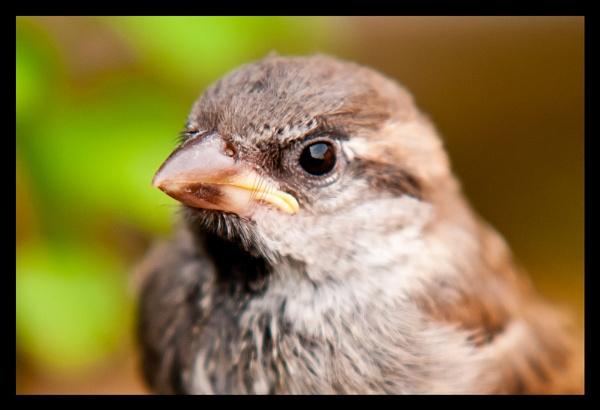 Garden Sparrow by BigRick