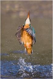 Kingfisher style