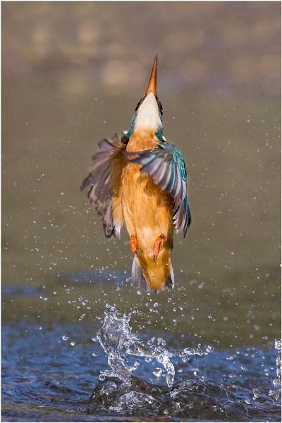 Kingfisher style by pronature