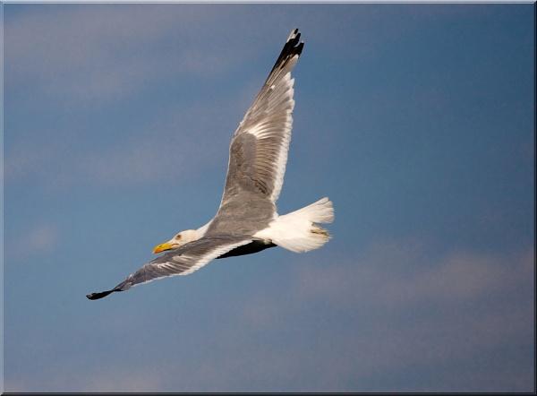 soaring seagull by michaelo