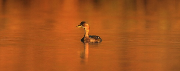 Little Grebe by chunky1972
