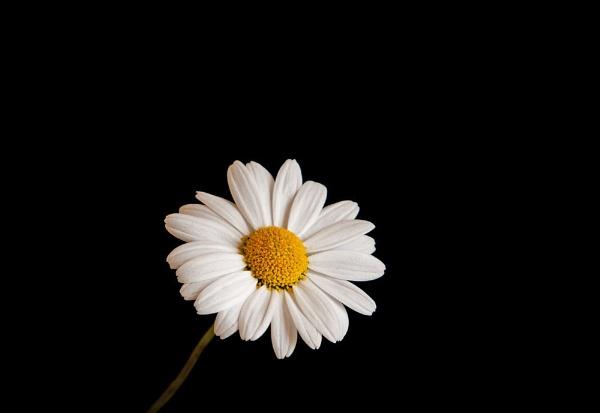 New Daisy by Dado