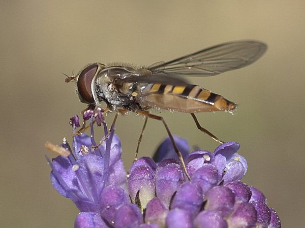 Hoverfly (Episyrphus balteatus) by Gio