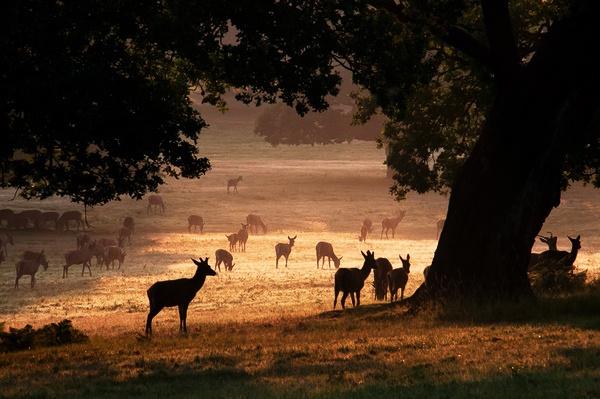 Morning Deer by GazW