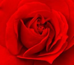 Rose crop
