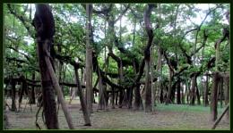 A 250year-old Banyan tree...