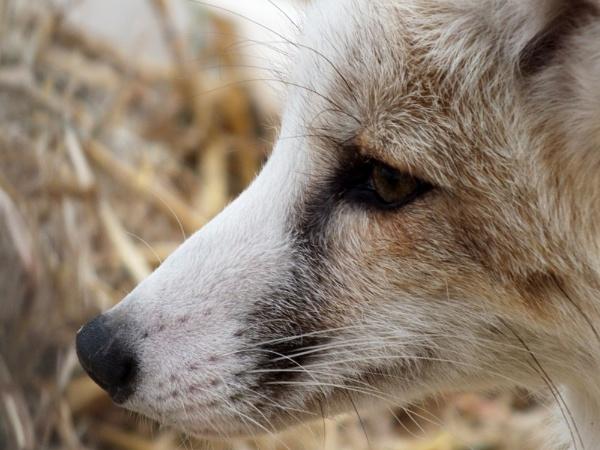 Silver Fox by sedonamoonshine