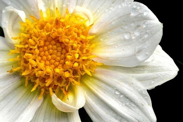 Dahlia close up by bayleaf1