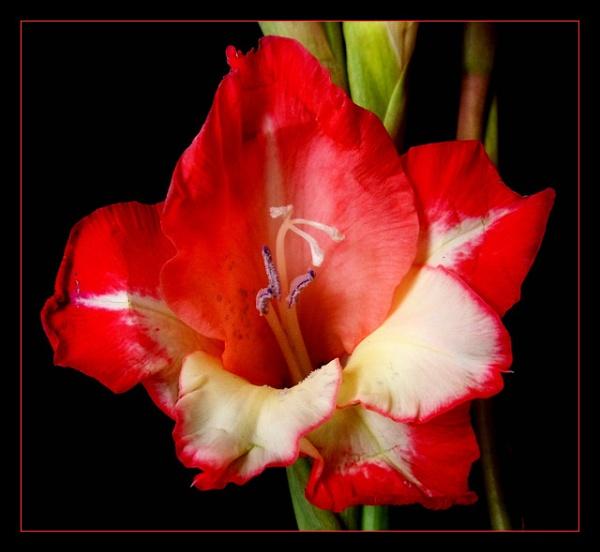 Gladioli / Gladiolus ?? by Peagreen