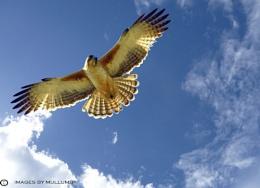 Hovering osprey.