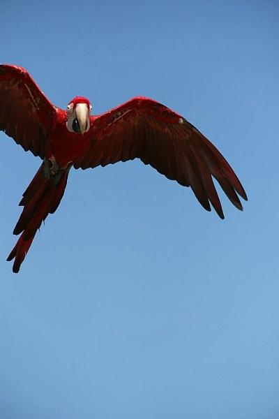 Macaw in flight by JadeClark