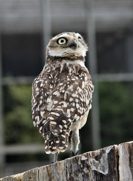 Little Owl by JadeClark