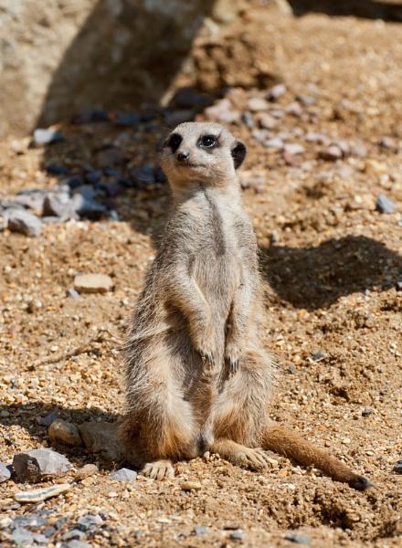 Meerkat by Pdholder