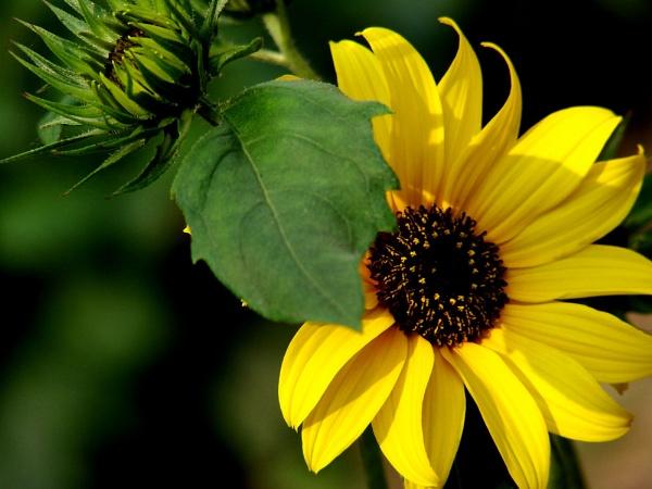 Sunflower by kpramanik7
