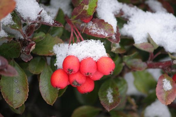 winter berries by jojojellybean