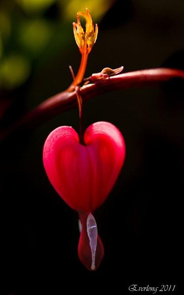 Bleeding Heart. by DalePow