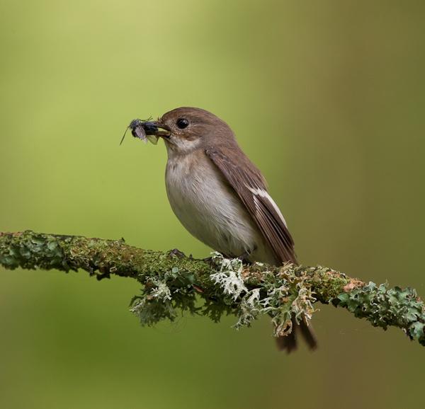 female pied flycatcher by pronature