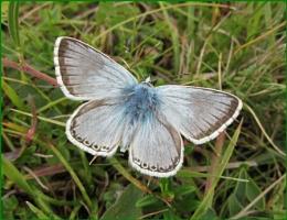 Male Chalkhill Blue III
