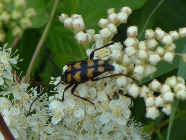 Flower Long-horned Beetle by sakisuki