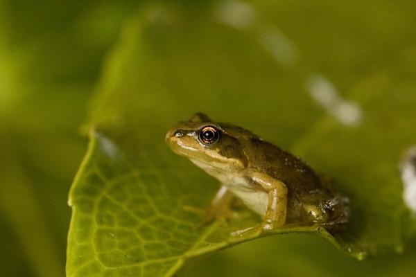 frog by Davestem