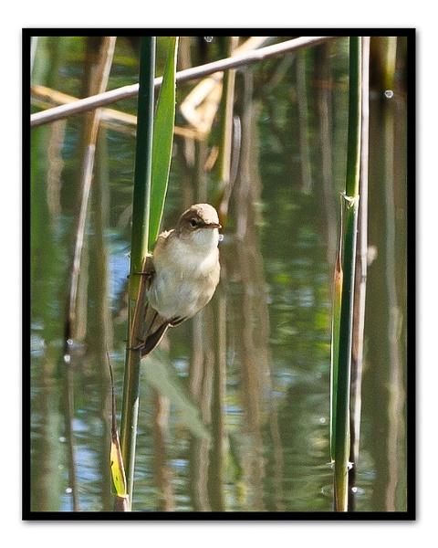 warbler by nicktg